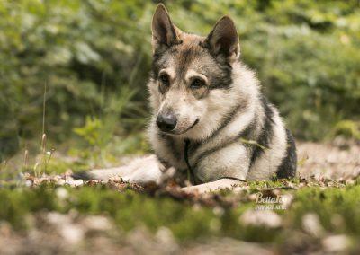 Sonata de saarloos wolfhond