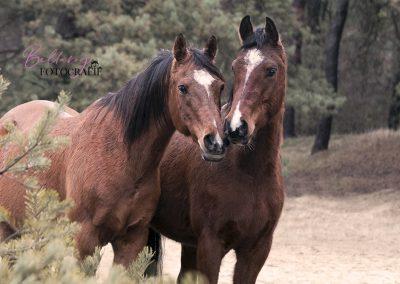 Arabieren paarden
