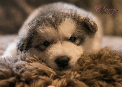 Nina de Alaskan Malamute pup