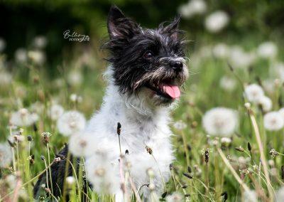 Hondenfotoshoot Dongen Kiara in het gras