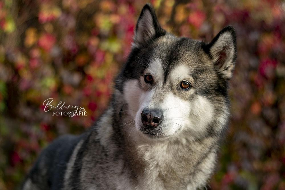 Hondenfotoshoot Tiel Misha de Alaskan Malamute