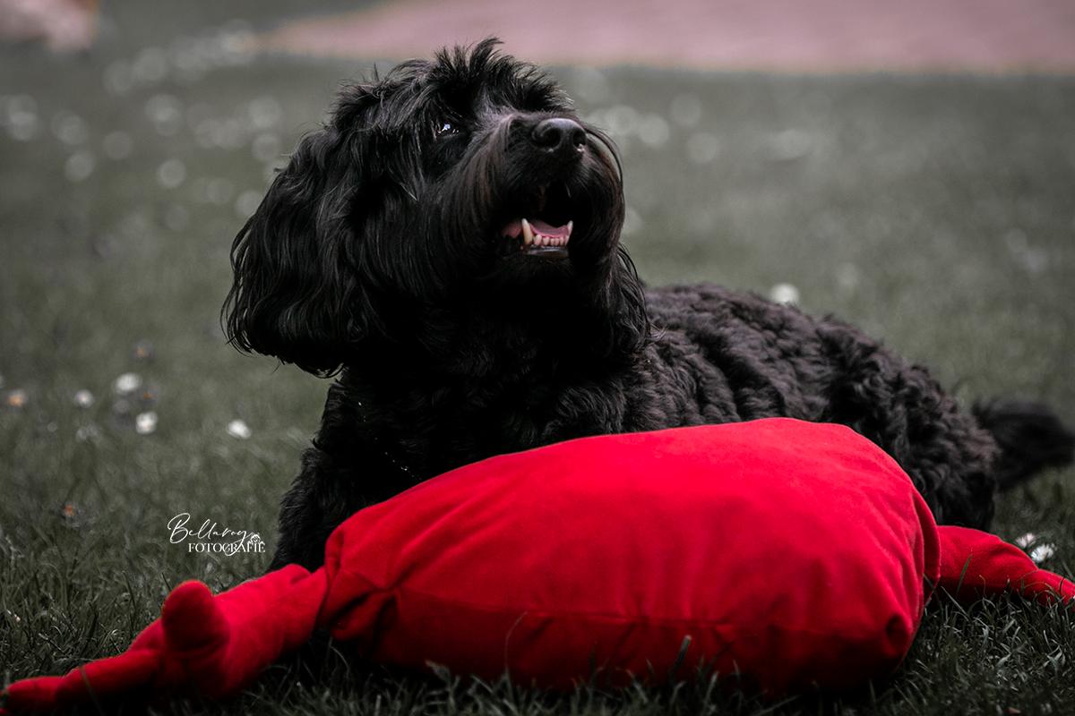 Hondenfotoshoot Someren Boy liggend met speeltje